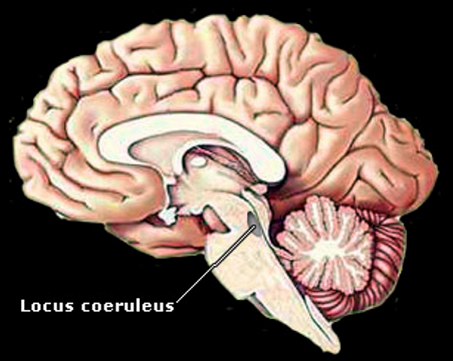 Enchanting Locus Coeruleus Anatomy Collection - Anatomy And ...